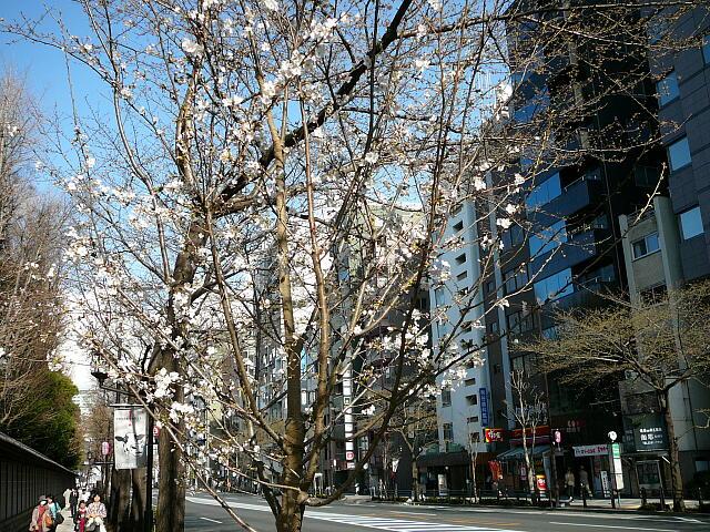 咲き始めた桜の木