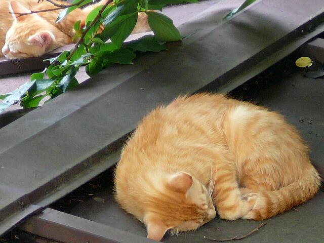 昼寝をするネコ