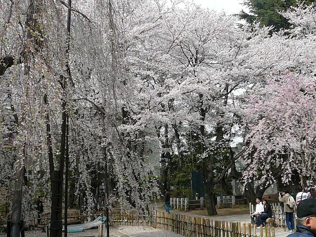 真間山の桜