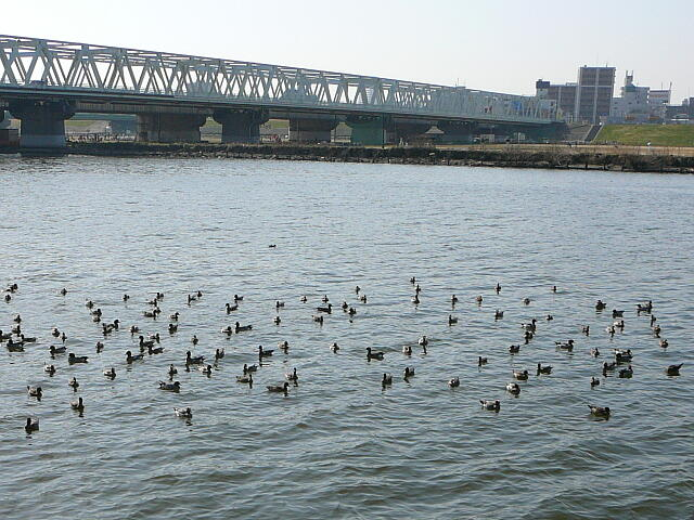 江戸川の鴨