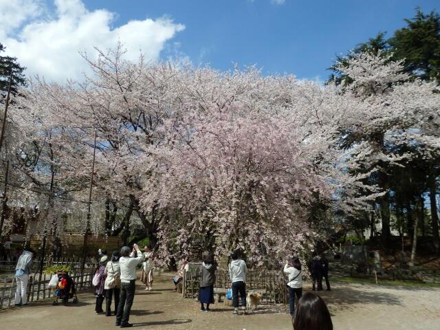 真間山の枝垂桜