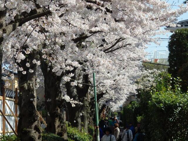 文学の道の桜