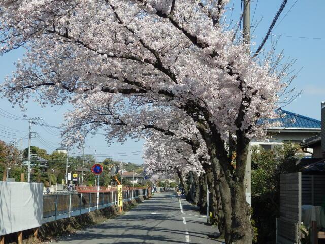 真間川沿いの桜